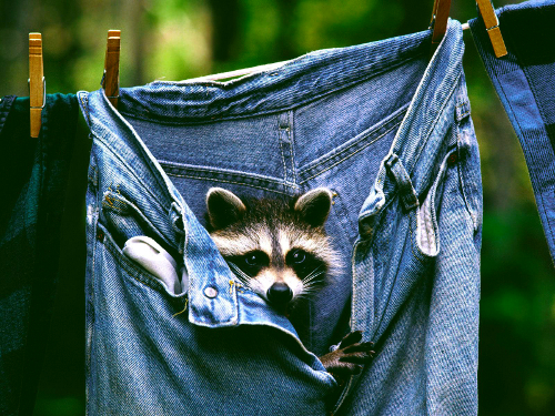 Raccoon in Jeans (image hdwallpapers.fr). Stunning Photos From Around the World