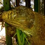 Turtle Island Lizard